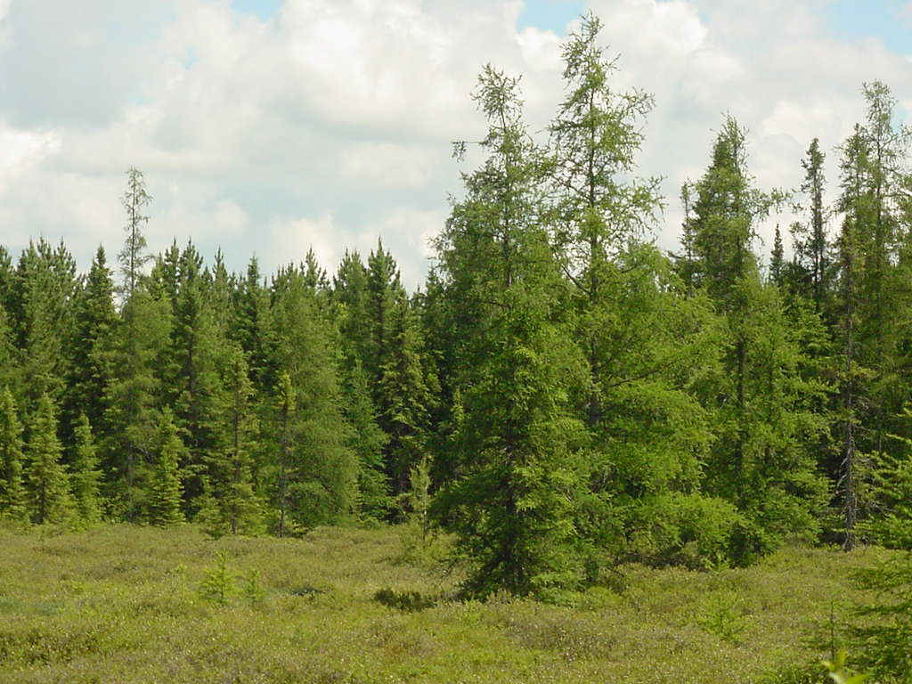 Taiga Forest for Pinte...