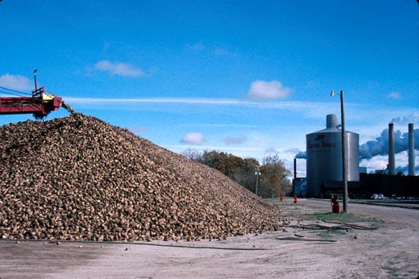 Processing Sugar Beets